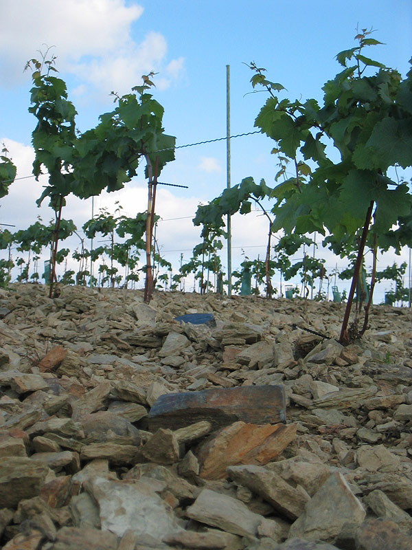 Plantation du vignoble : Les porte-greffes de vigne.