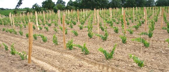 plantation du vignoble