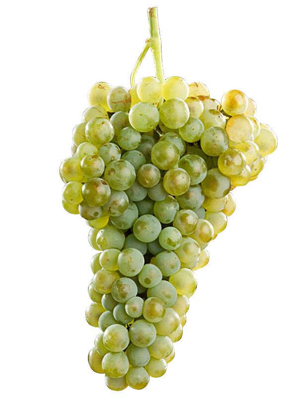 verdelho raisin