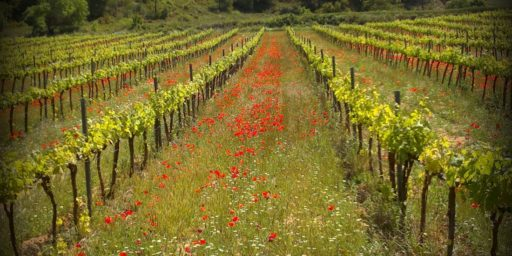 fertilization pour la vigne
