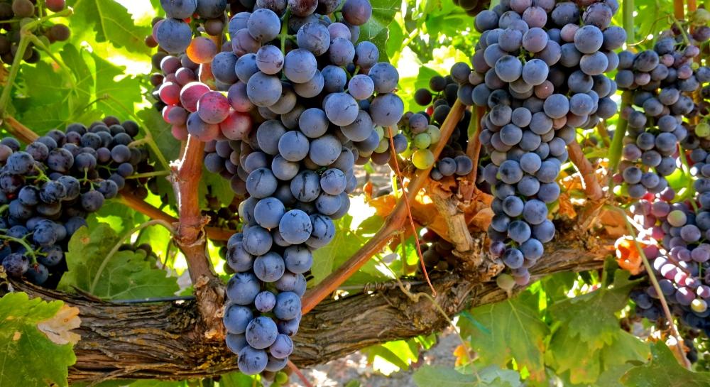 recommandations de fertilization pour la vigne