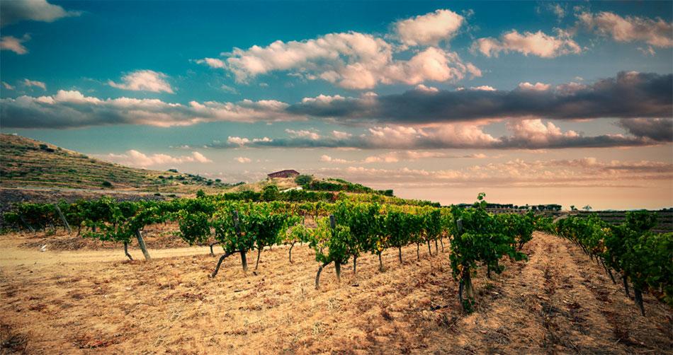 coûte plantation vigne