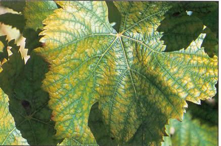 fertilisation de la vigne Manganèse