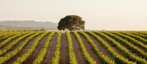Fertilization de la vigne
