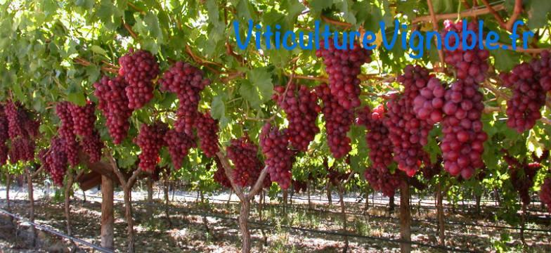 crimson_viticulutrevignoble