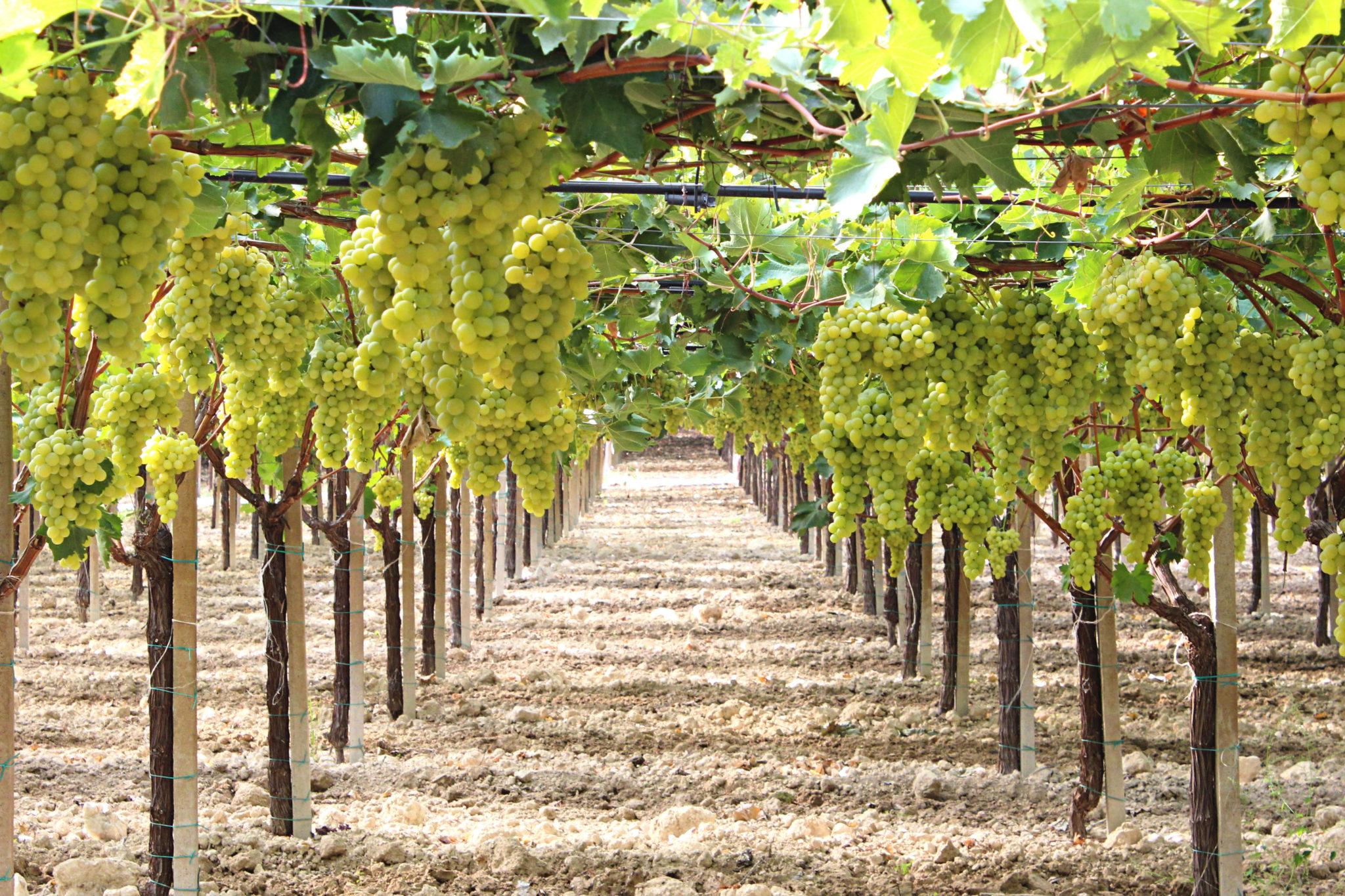 Raisin de table italia origine caract ristiques Planter vigne raisin de table