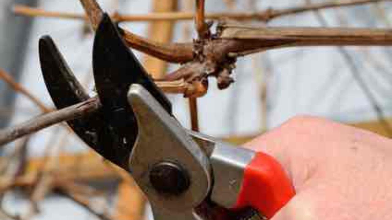 Comment Planter Une Vigne Grimpante ▷ tailler la vigne. la première année, la formation du cep
