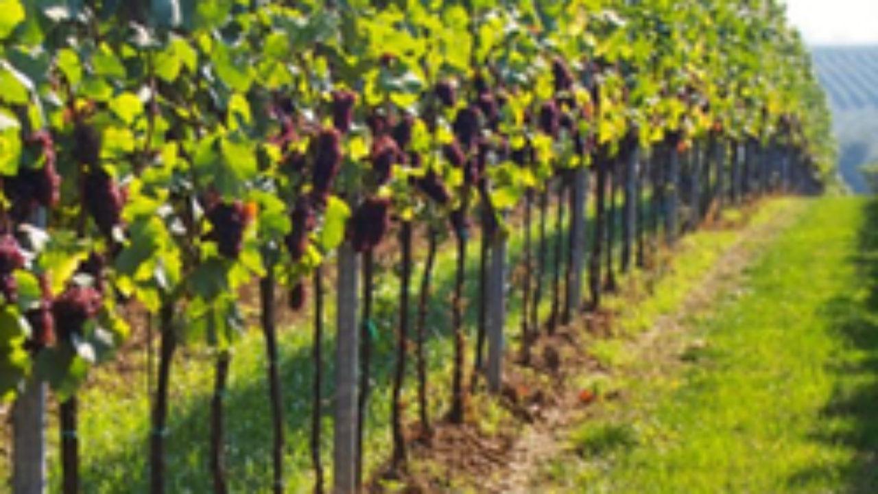 Comment Planter Une Vigne Grimpante ▷ quand planter une vigne ? meilleure saison pour planter.