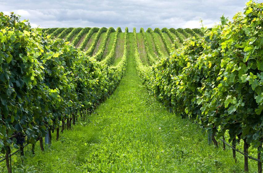 fertilisation phosphatée vigne