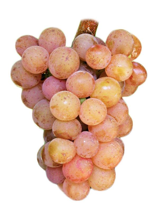 cépages vin gewürztraminer