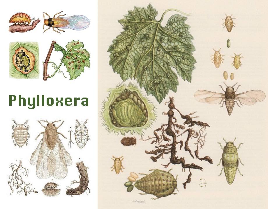 cycle du Phylloxera
