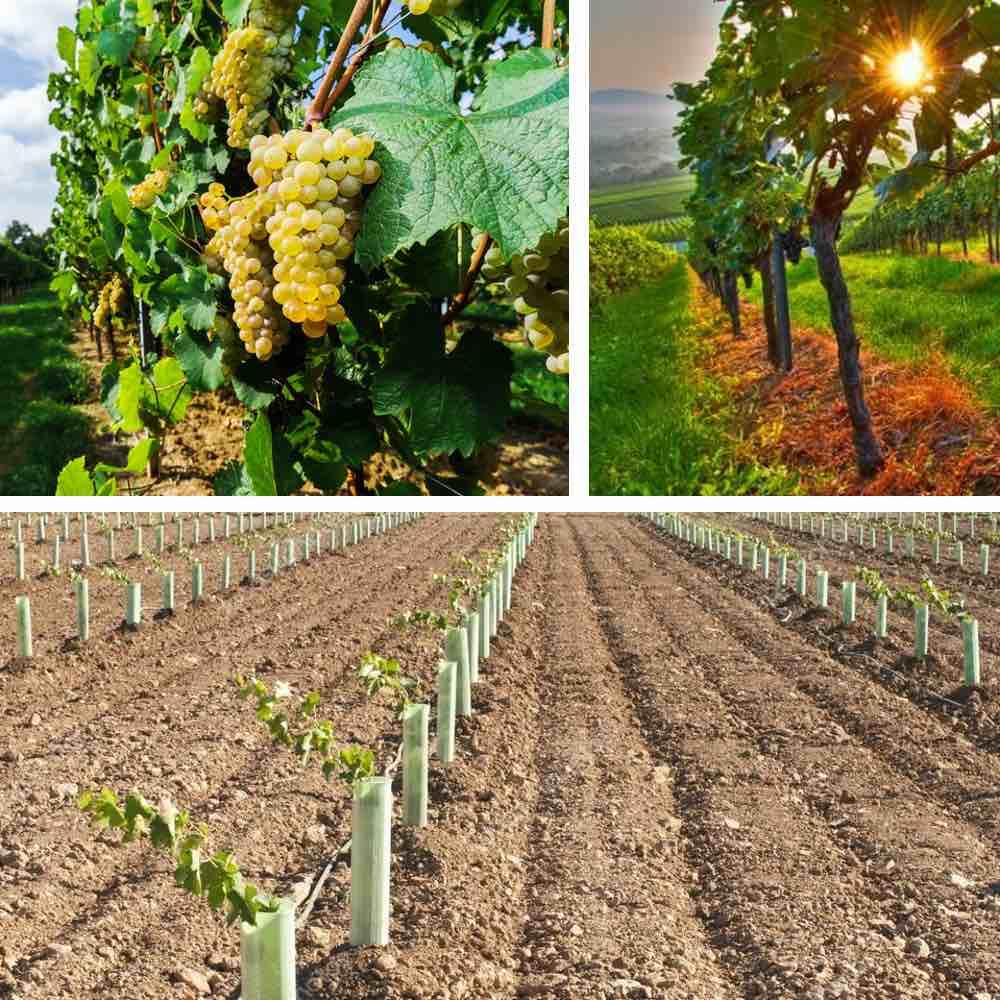 100 Incroyable Concepts Quand Planter La Vigne