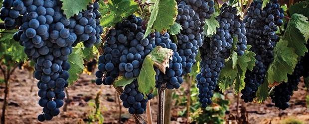 vigne tempranillo