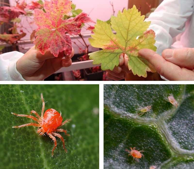 araignée rouge