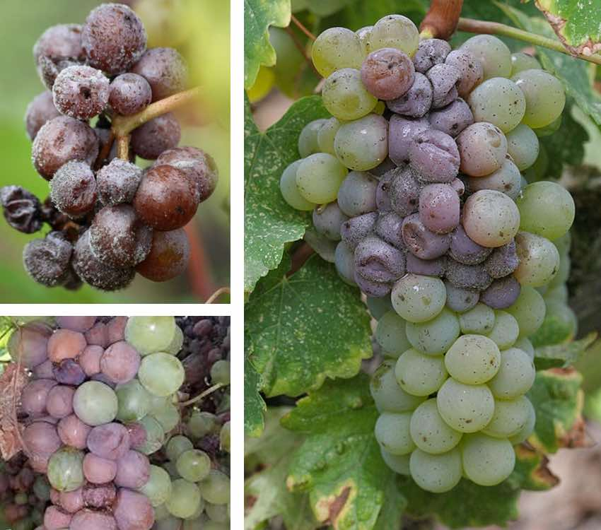 pourriture grise raisin