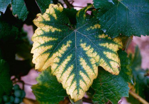 feuille vigne carence magnésium