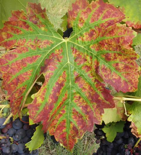 Carence Magnesium Vigne